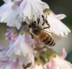 repas-abeille