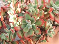 echeveria setosa tomentosa