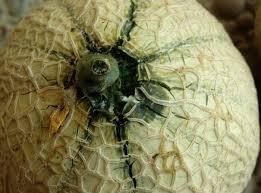 melon pedoncule