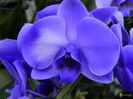 orchidee royale c visoflora.com