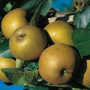 pommier-reinette-grise-du-canada c pepinieres naudet